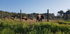 Les bisons à fréjus