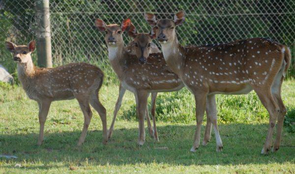 Les biches au Parc Zoologique de Fréjus