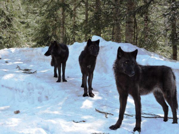 Loups du Canada au Parc des loups