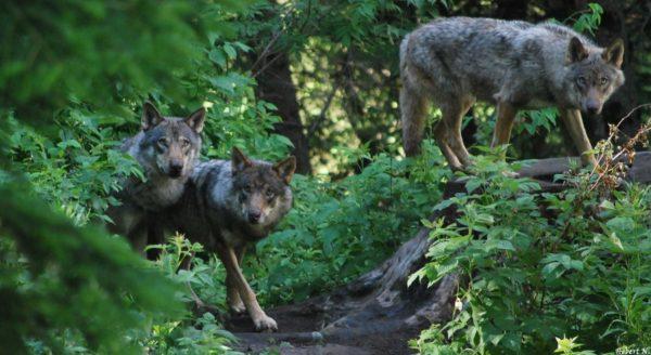 Les trois loups d'Europe du Parc des loups