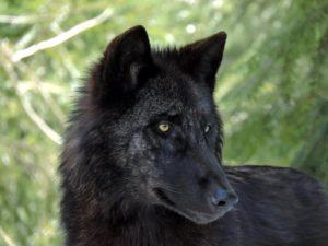 Le loup du Canada au parc des loups