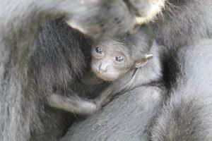 Dans les bras de sa maman le Siamang du zoo de fréjus
