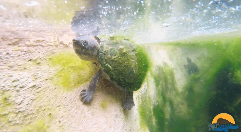Tortue aquatique village des tortues