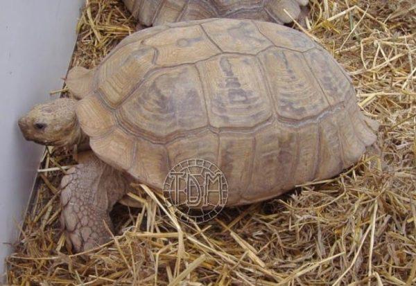 Tortue terrestre du village des tortues