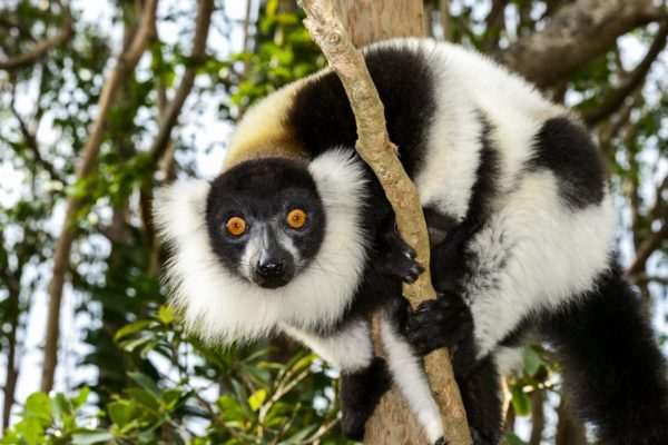 Primates du Parc Zoologique de Fréjus : le lémurien