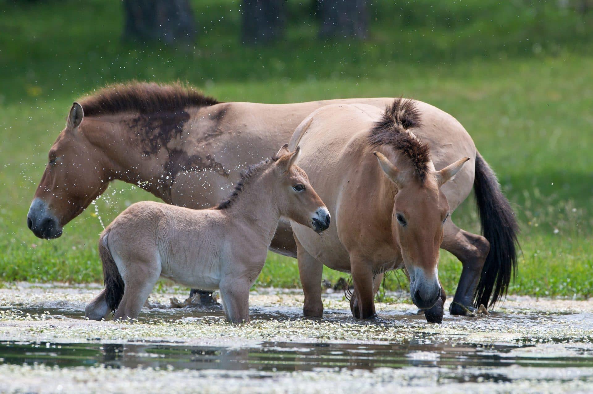 Les chevaux de Przewalski de La Réserve des Monts d'Azur