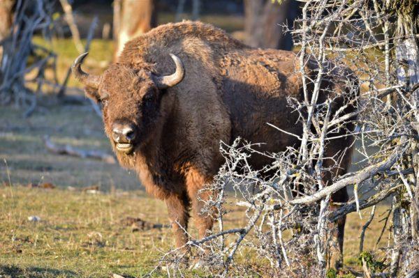 Les bisons de la Réserve des Monts d'Azur