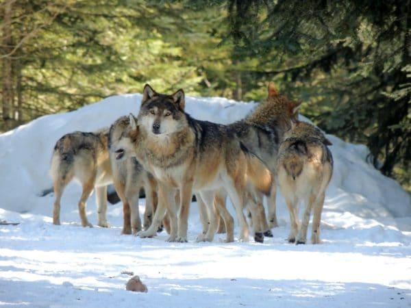 Les loups au parc des loups à Vésubie