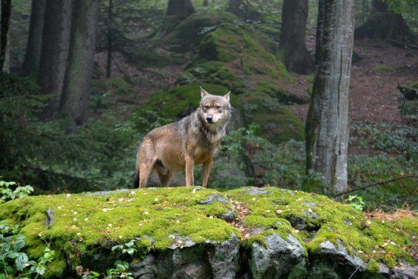 Le loup d'Europe au Parc des loups Alpha
