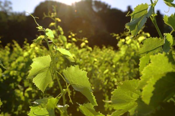 Les raisins du Domaine de la Madrague