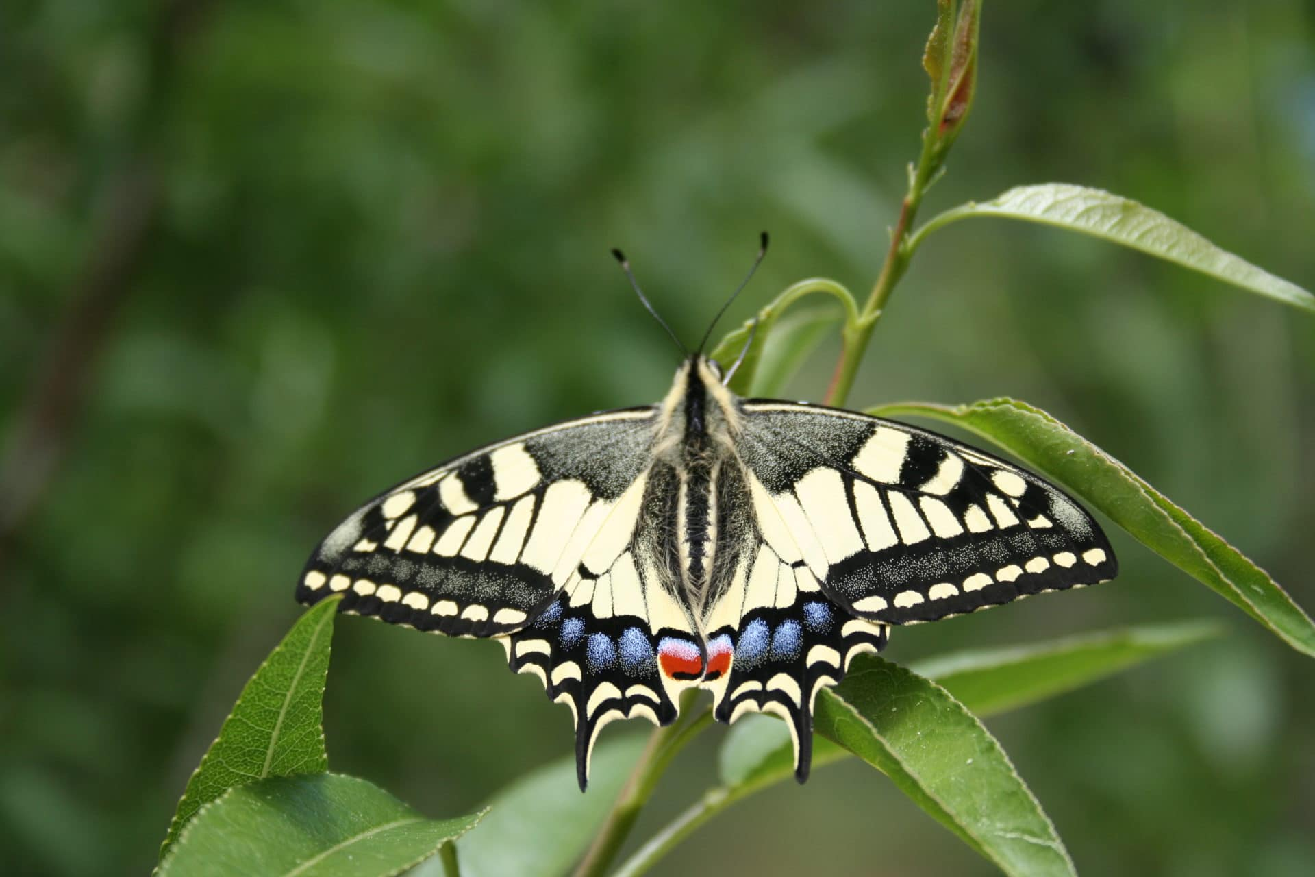 Le Machaon au jardin des papillons - Aoubré