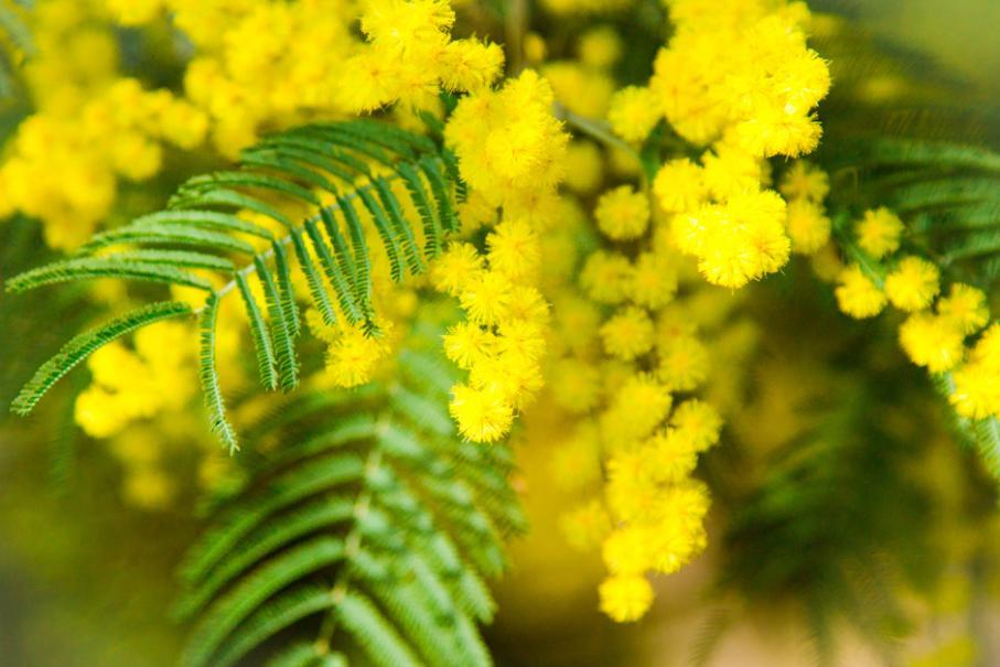 La fête du Mimosa