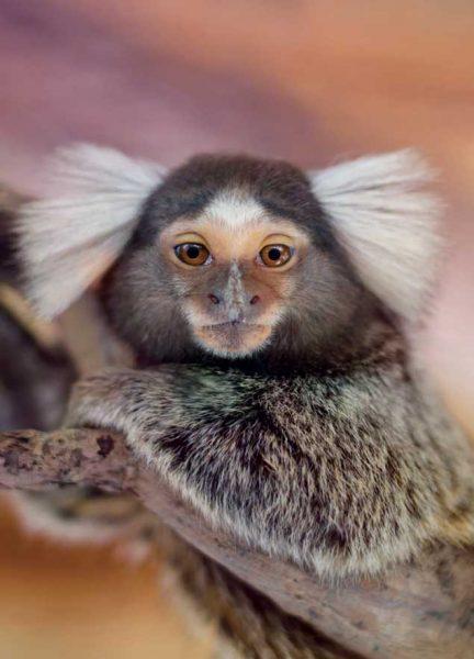 Primates du Parc Phoenix : les ouistitis